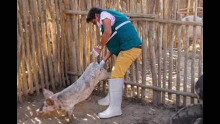 Áncash: Vacunan a cerdos contra la peste porcina