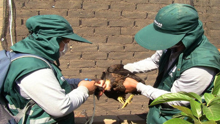 Senasa de Lambayeque inicia vacunación contra enfermedad que ataca a aves