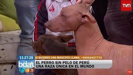 Perro sin pelo peruano fue presentado así en Televisión Nacional de Chile