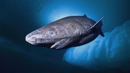 VIDEO. Conoce al misterioso tiburón del Ártico que vive cuatro siglos