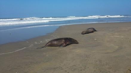 Constatan muerte de más de 30 lobos y delfines en playa de Lambayeque