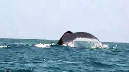 VIDEO: Avistamiento de ballenas y delfines en Canoas de Punta Sal