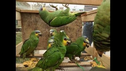 Más de 1 200 animales silvestres fueron recuperados por el Serfor