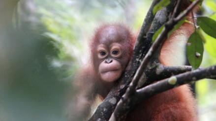 Conoce a los defensores de los orangutanes en Indonesia
