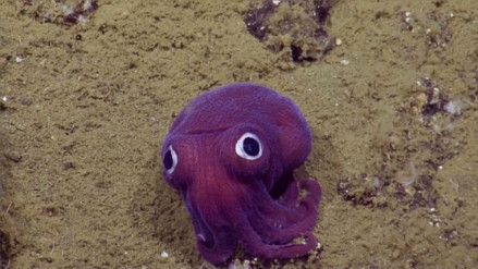 YouTube: captan un extraño calamar que más parece un peluche