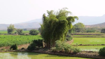 Capacitan a productores de bambú para promover su uso sostenible