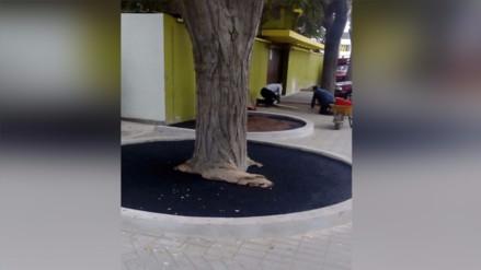 San Isidro: alcorques en árboles generan preocupación en vecinos