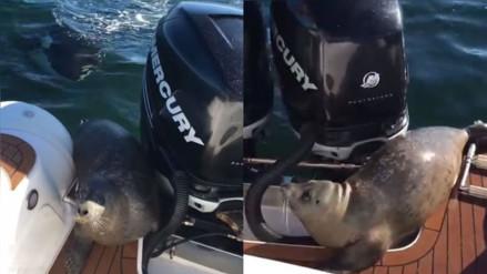 YouTube: una foca se sube a un barco para evitar ser devorado por orcas