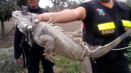Resultado de imagen para Iguana de dos metros causó susto en pobladores de Huaura