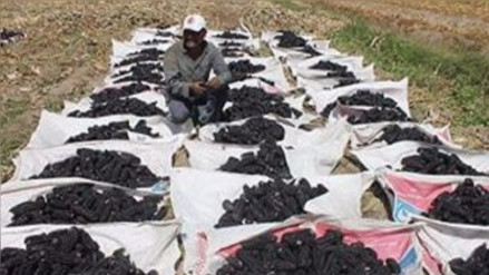 Cosecha de maíz morado se incrementó en 25% en Cocachacra