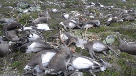 VIDEO. Tormenta eléctrica provoca la muerte de 323 renos en Noruega