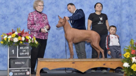 Perro sin pelo peruano obtuvo nuevo premio en concurso en Chile