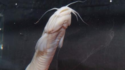 Encuentran nueva especie de pez sin escamas en el Parque Cordillera Azul