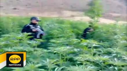 Chimbote: incineran más de 10 mil plantones de marihuana