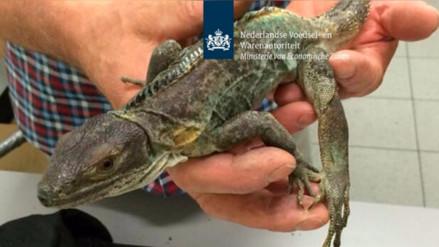 Tres españoles que viajaban desde México camuflaron 260 reptiles en una maleta
