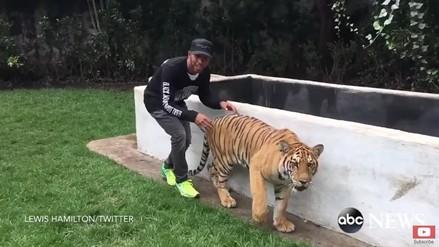 Lewis Hamilton le hizo una pesada broma a un tigre de bengala