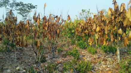 Sembríos de cacao afectados por fuerte sequía