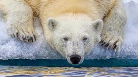 Advierten que los osos polares se están quedando sin hielo en el Ártico