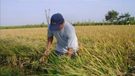 Sequía en Ascope: miles de agricultores afectados en valle Chicama