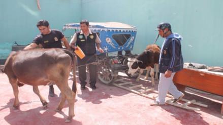 Cámaras permitieron recuperación de ganado robado en Monsefú