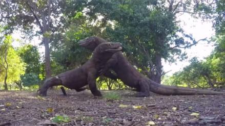 YouTube: registran el momento en que dos dragones de Komodo se pelean