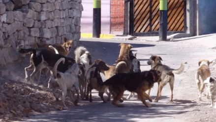 Unos 6 mil perros callejeros existen en el distrito de Cerro Colorado