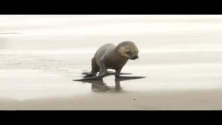 Lobos marinos bebés quedan varados por culpa de los pescadores informales