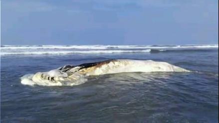 Chiclayo: hallan a ballena, lobos marinos y delfines muertos en playa Lagunas