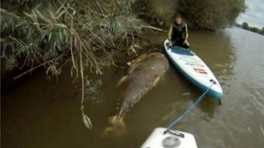 YouTube: hallan misterioso atún del tamaño de un tiburón en río de Inglaterra