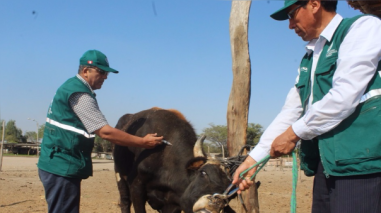 Técnicos del Senasa Lambayeque vacunarán más de 50 mil reses hasta diciembre