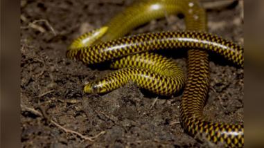 Dos nuevas especies de serpiente son descubiertas en Cajamarca