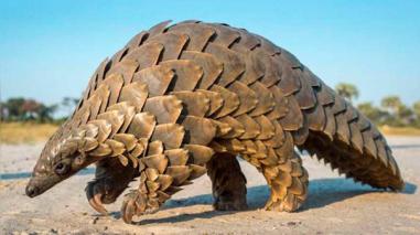 El pangolín, un animal que podría pasar del anonimato a la extinción