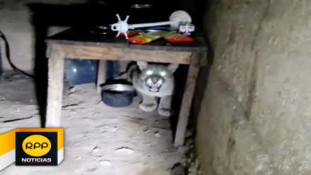 Puma andino sorprende a familia al ingresar a vivienda de Huanta