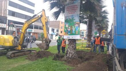 Reubican 30 palmeras en Los Olivos por el riesgo de contacto eléctrico