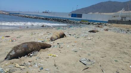 Hallan once lobos marinos muertos en la playa Caleta de Chimbote