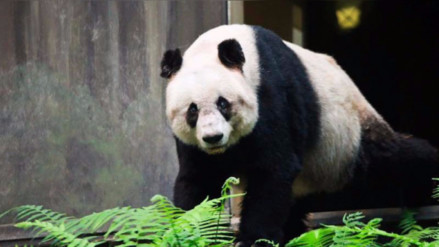 Murió Jia Jia, el oso panda más longevo del mundo