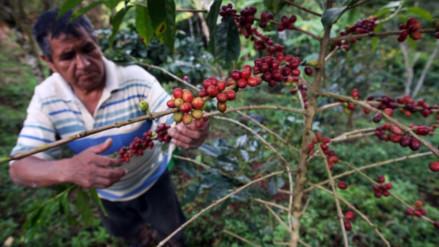 Producción de café creció 42.6% y sumó 15,812 toneladas en agosto