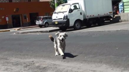 Casos de rabia canina en Arequipa representan alerta sanitaria