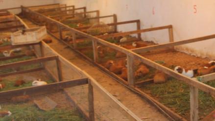 Impulsan cadenas productivas de maíz amarillo duro y del cuy en Lambayeque