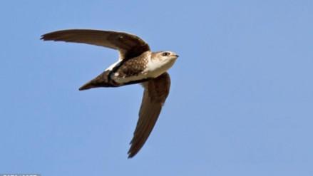 Este pájaro puede pasar 10 meses en el aire sin aterrizar