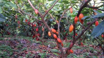 Producción de cacao afectado por plaga del mazorquero