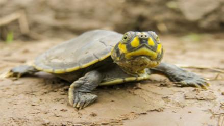 Liberan más de 500 mil taricayas en Reserva Nacional Pacaya Samiria
