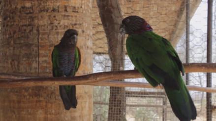 SERFOR recuperó mil 200 especies de fauna silvestre en Lambayeque