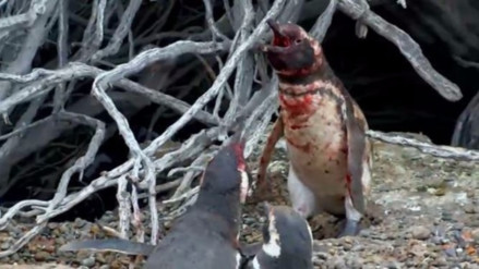 """La sangrienta pelea de un pingüino que encontró a su pareja con """"un amante"""" conquistó las redes"""