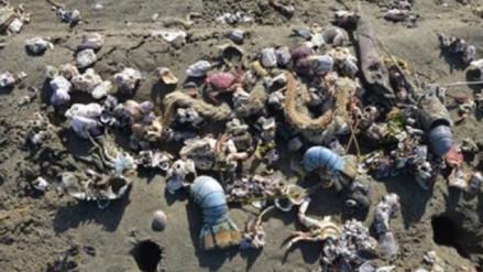 Condiciones oceonográficas anómalas provocó varazón en mar lambayecano