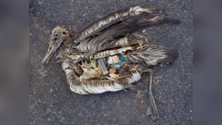 La ciencia explica por qué las aves comen plástico