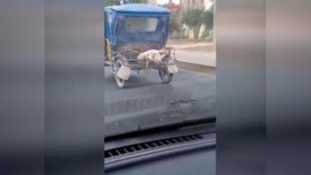 Un cerdo es trasladado en una mototaxi en Lambayeque