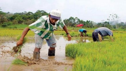 Peligra campaña de arroz por falta de agua en el valle Chancay