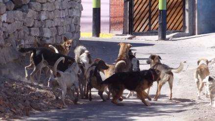 A 49 se incrementan casos de rabia canina en Arequipa