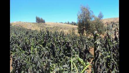Sequía y helada afectan cultivos en Ayacucho